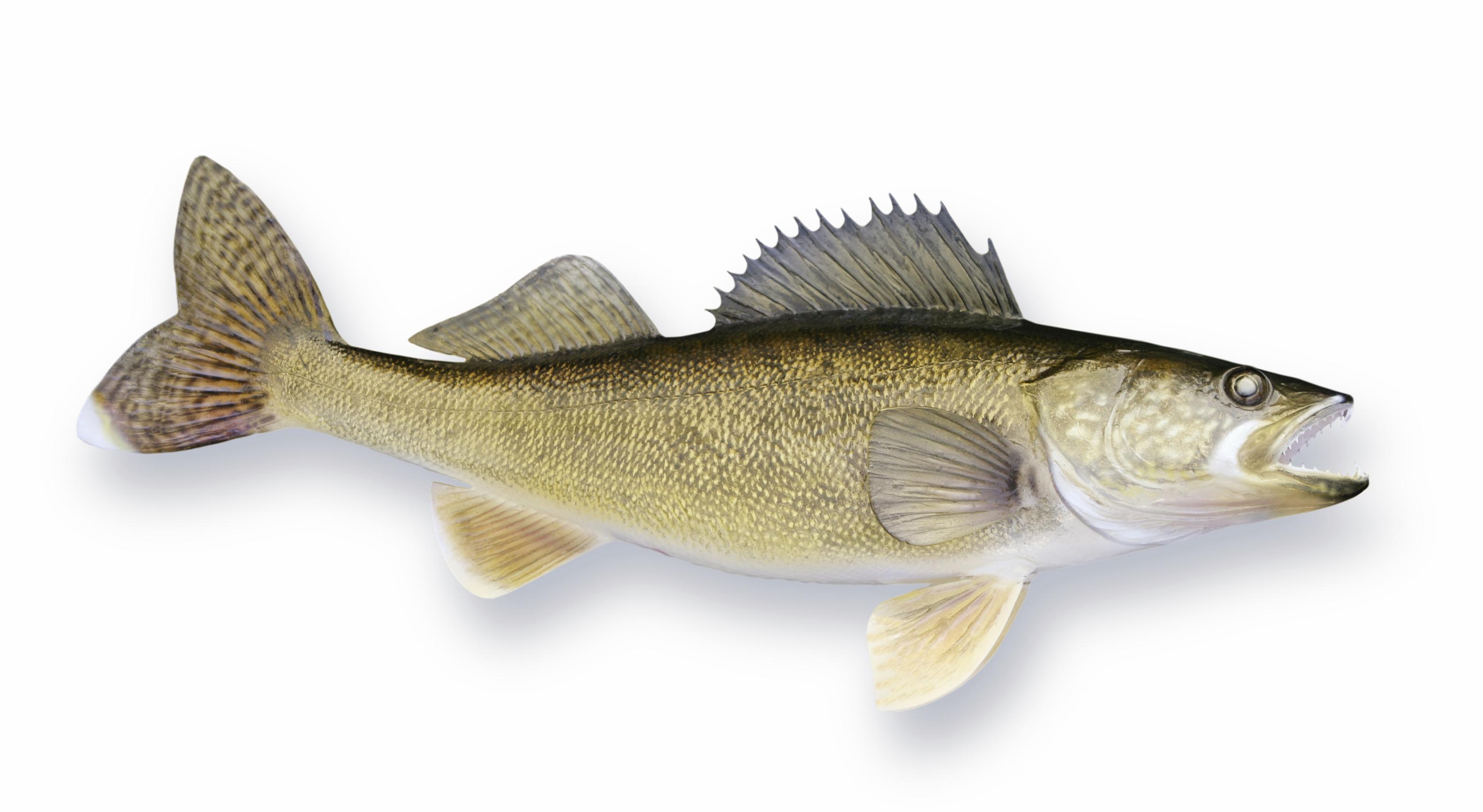 Wall eyed pike for Wall eye fish
